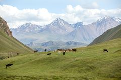 Group of farm animals pasturing in mountains Royalty Free Stock Photography