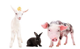 Group of farm animals standing together. Isolated on white background Royalty Free Stock Photo