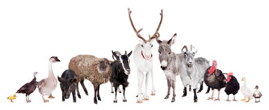 Group of farm animals on white Royalty Free Stock Photo