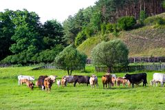 Group of farm cows graze on a meadow. stock photos
