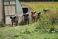 Group of Farm Pigs. Stock Photography