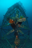 Group of Feather star attach on artificial reef. Stock Photography