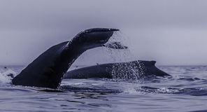A group of feeding humpback whales, exposing back and fluke at p Royalty Free Stock Photos