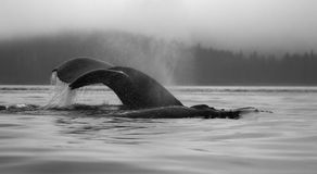 A group of feeding humpback whales, exposing back and fluke at p Royalty Free Stock Images