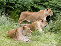 Group of female African lioness. Natural behaviour of young female African lioness royalty free stock photo