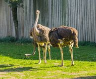 Group of female common ostriches standing in the grass together, big flightless birds from africa. Group of big female common ostriches standing in the grass stock images