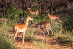 Group of female Impalas on the road. Stock Image