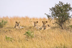 Group of female lions. Resting on a small hill Stock Image