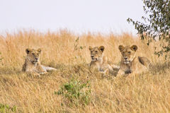 Group of female lions. Resting on a small hillside Stock Photos