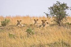 Group of female lions. Laying on small hillside in Afica Royalty Free Stock Image