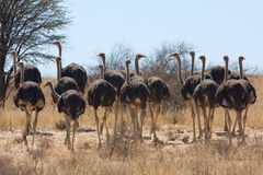 Group of female Ostrich, Struthio camelus Stock Photos
