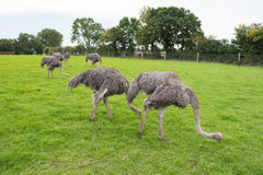 Group of female ostriches eating grass Royalty Free Stock Images