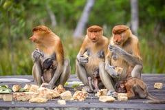 Group of female Proboscis Monkeys. (Nasalis larvatus) endemic of Borneo sitting on the feeding platform in Sarawak Royalty Free Stock Image