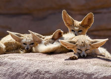 Group of Fennec Foxes Morocco stock images