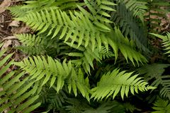 Group of ferns Stock Images