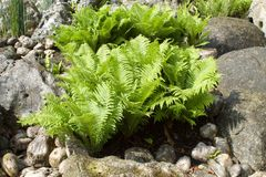 Group of ferns among the rocks. Beautiful green leaves Stock Photography