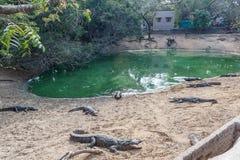 Group of ferocious crocodiles or alligators basking in sun. Group of ferocious crocodiles or alligators basking in the sun and maintained at Madras Crocodile Royalty Free Stock Image