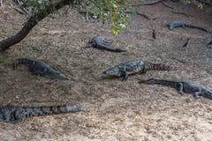 Group of ferocious crocodiles or alligators basking in sun. Group of ferocious crocodiles or alligators basking in the sun and maintained at Madras Crocodile Royalty Free Stock Photo