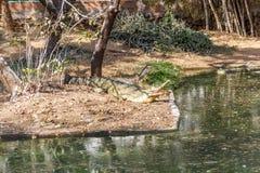Group of ferocious crocodiles or alligators basking in sun. Group of ferocious crocodiles or alligators basking in the sun and maintained at Madras Crocodile Royalty Free Stock Images