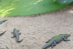 Group of ferocious crocodiles or alligators basking in sun Royalty Free Stock Photos
