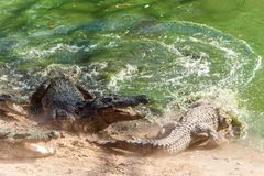 Group of ferocious crocodiles or alligators fighting for prey under water. Group of ferocious crocodiles or alligators basking in the sun and maintained at Stock Photo