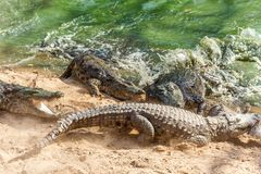 Group of ferocious crocodiles or alligators fighting for prey under water. Group of ferocious crocodiles or alligators basking in the sun and maintained at Stock Images