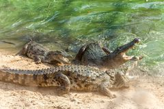 Group of ferocious crocodiles or alligators fighting for prey under water stock photos
