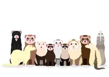 Group of ferrets. Group of cute ferrets with various sizes, colors and patterns vector illustration