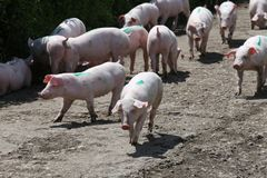 Group of few weeks old little piglets at animal farm summertime Royalty Free Stock Image