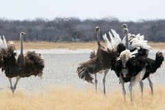 Group of fighting ostriches Stock Images