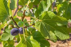 Group of figs as fruit hanging at fig branch. Group of figs as fruits hanging at fig branches with leaves stock photo