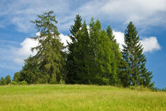 Group of fir trees against blue cloudy sky Stock Photos