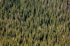 Group of fir trees on hillside stock image
