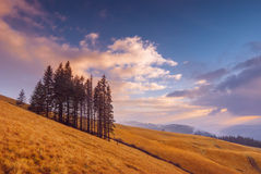 Group of fir trees on a yellow autumn meadow Stock Image