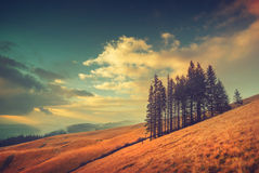 Group of fir trees on a yellow autumn meadow. Vintage colors Stock Photos