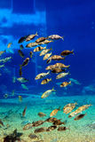 Group of fish. A large school of african fish Royalty Free Stock Images