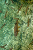Group of fish in clear lake water Royalty Free Stock Photography