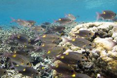 Group of fish Gnathodentex aurolineatus - Fusilier fish. Close up Royalty Free Stock Images