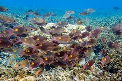 Group of fish Gnathodentex aurolineatus - Fusilier fish. Close up Stock Images