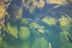 Group of fishes in green clear and turquoise water of atlantic ocean. Top view stock photo