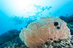 Group of fishes and sea fan Stock Photography
