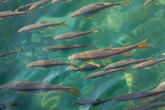 Fishes on green background. A group of fishes are swimming in the lake having green floor Stock Photo