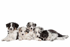 Group of five border collie puppies royalty free stock photos