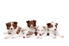 Group of five border collie puppy dogs stock image