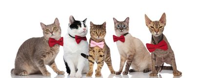 Group of five cute cats with pink and red bowties stock photo