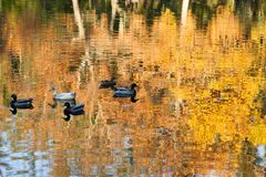 Ducks on Fall Reflection Pond. A group of five ducks floating on a calm pond that is reflecting the golden leaves of surrounding trees in the afternoon light Stock Image
