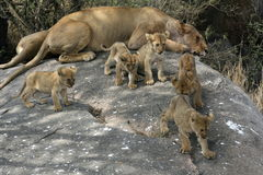 Group of five lion cubs playing on a rock. Five lion cubs playing on a rock while two lionesses are resting Royalty Free Stock Photo