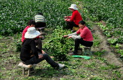 Pengzhou, China: Women Harvesting Spinach Royalty Free Stock Photos