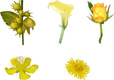 Group of five yellow flowers isolated on white Royalty Free Stock Images