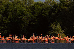 Group of the Flamingo. Royalty Free Stock Image